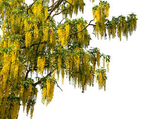branch of a blooming golden rain tree
