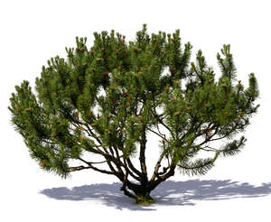 small mountain pine