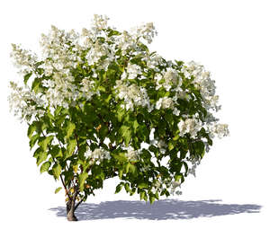 blooming white hortensia