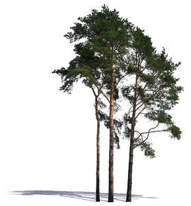 group of tall pine trees