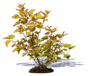 small bush with yellow leaves