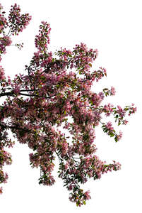 cut out blooming cherry tree branch
