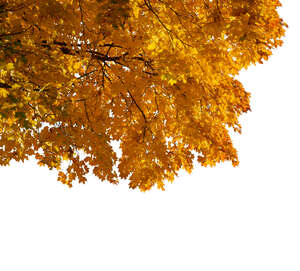 branch of a maple tree with yellow leaves