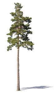 beautiful medium size pine tree