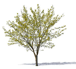 medium size tree with small sprouting leaves