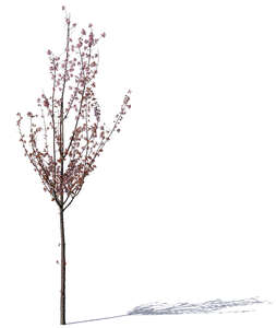 small blooming cherry with pink blossoms