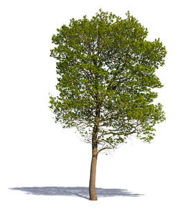 medium size tree with young spring leaves