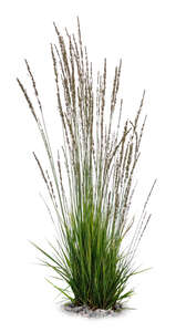 cut out tuft of ornamental grass in a shade