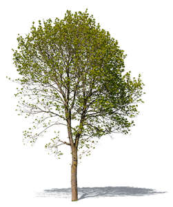 cut out decidiuous tree in spring
