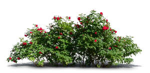 cut out rose bush with red blossoms