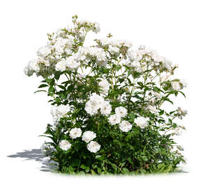 cut out blooming rose bush with white blossoms