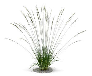 cut out decorative grass Molinia caerulea