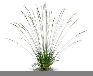 cut out ornamental grass Molinia caerulea