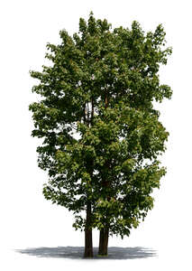 two cut out tall Norway maple trees