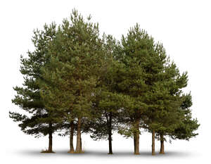 cut out group of small pine trees
