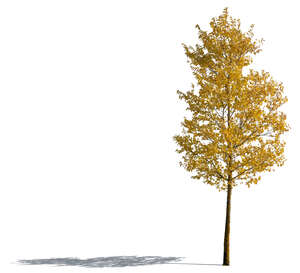 cut out tree with yellow leaves in autumn
