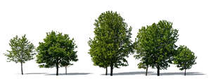group of different size maple trees