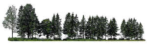 cut out sidelit group of spruces