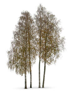cut out group of birch trees in autumn