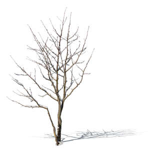 cut out small bare tree covered with snow