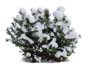 cut out evergreen bush covered with snow