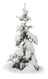 cut out little snow covered spruce