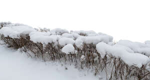 cut out hedge in winter covered with snow
