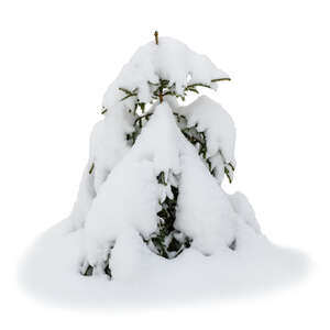 cut out small fir tree covered with thick snow