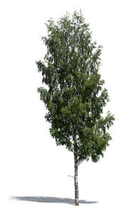 cut out betula pendula or birch