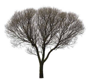 cut out leafless tree with thick crown