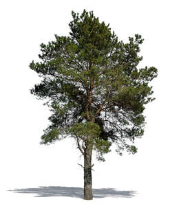cut out pinus sylvestris