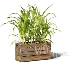 garden plant in a wooden crate