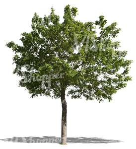 cut out medium maple tree