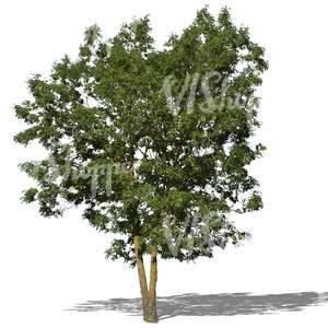 cut out medium size ash tree