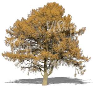 large larch in autumn with yellow leaves