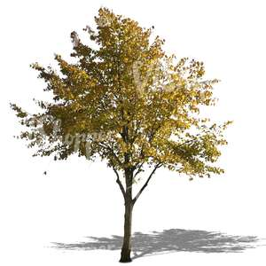 cut out lime tree with  yellow leaves