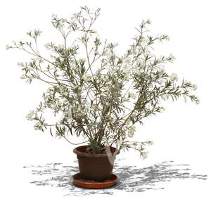 Tropical potted bush with white blossoms.