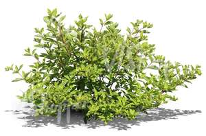 cut out ordinary bush