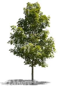cut out medium size maple tree