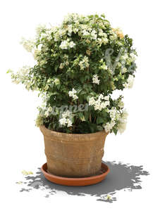 blooming medium size plant in a clay pot