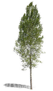 free cut out tall deciduous tree
