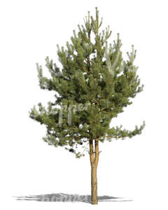 cut out small pine tree