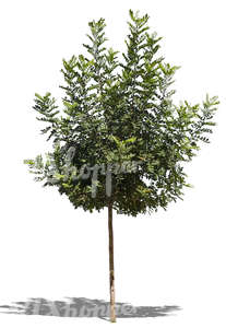 cut out medium size tropical tree