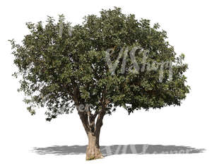cut out medium size mediterranean tree