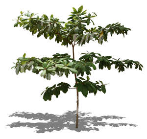 cut out small tropical tree with big leaves