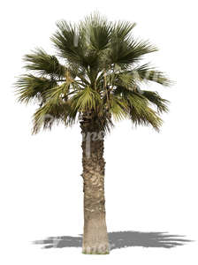 cut out big palm tree