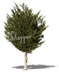 cut out medium tropical tree