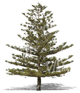 cut out Norfolk island pine