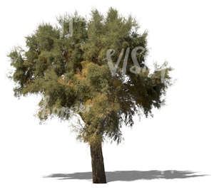 cut out big mediterranean tree