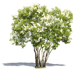 cut out blooming white lilac
